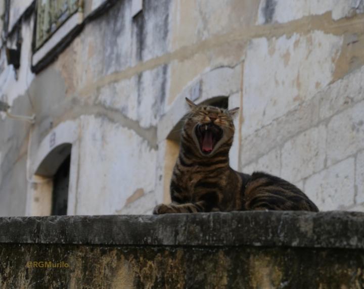 gato_bocejo_alfama_a
